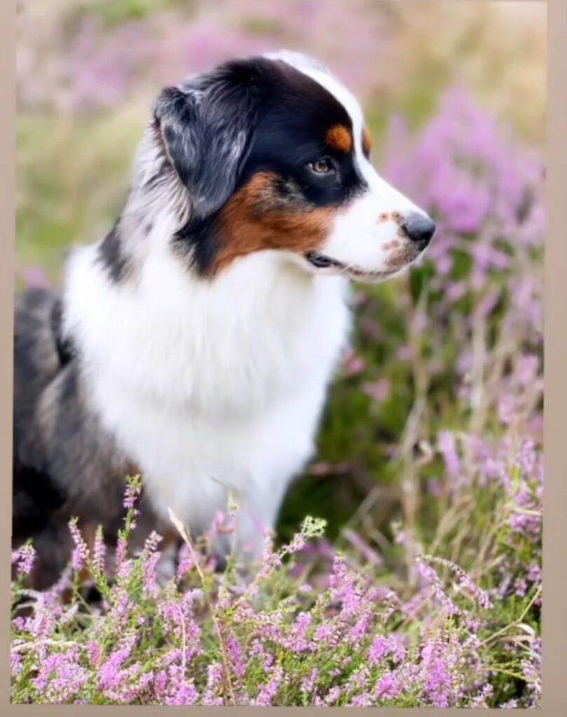 Vill du dela med dig dina bästa bilder på din Miniature American Shepherd?